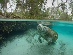 manatees and mangroves